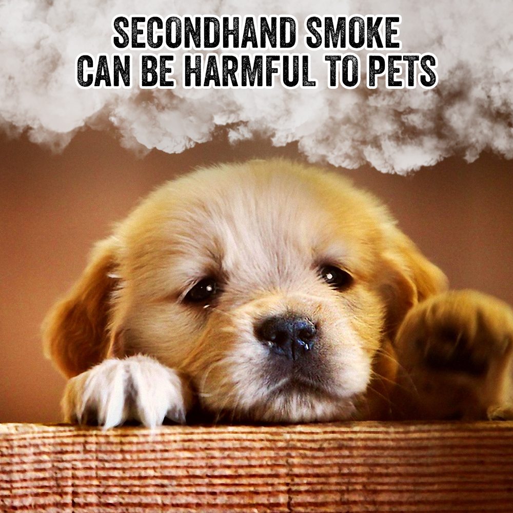 Smokers aren't just putting themselves at risk. Secondhand smoke can harm those around them, including pets. #Smoking #Cigarettes #Cigs